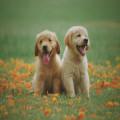 Gaat een oorontsteking bij een hond vanzelf over?